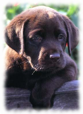 Willow Brook Labradors Home Page